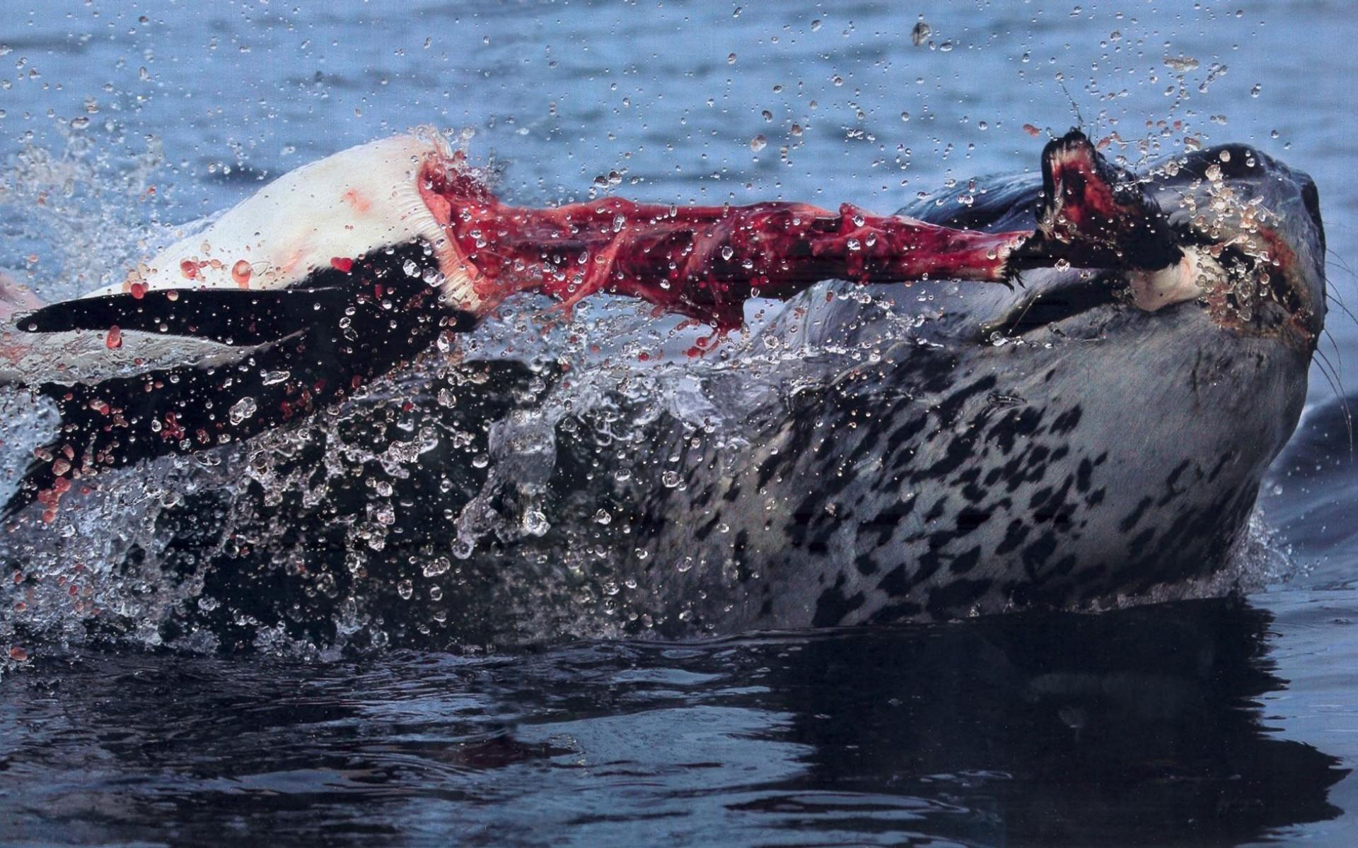 Leopard Seal Leopard seal hunt