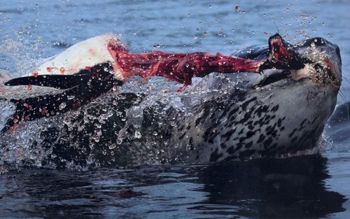 Leopard foca, selo hunt