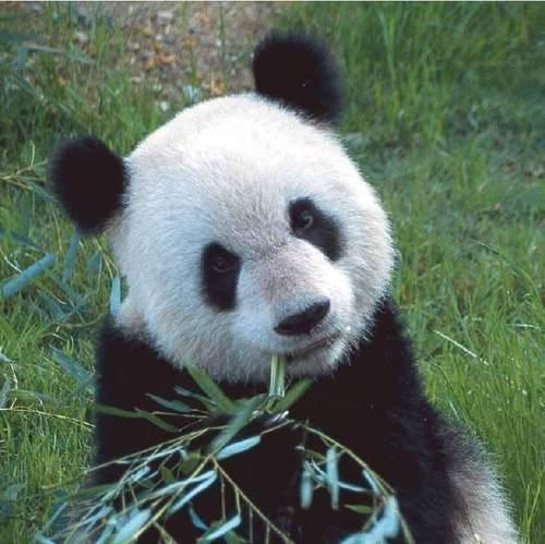 lebih Cute Pandas!
