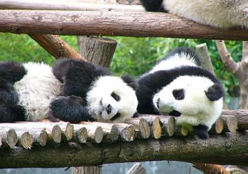 更多 Cute Pandas!