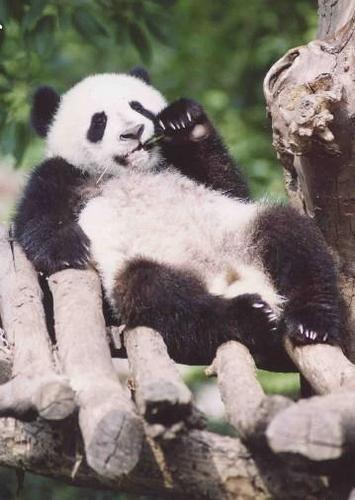 Pandas wallpaper titled More Cute Pandas!