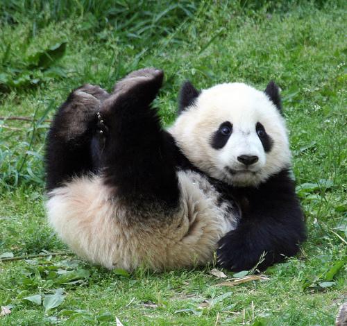 madami Cute Pandas!