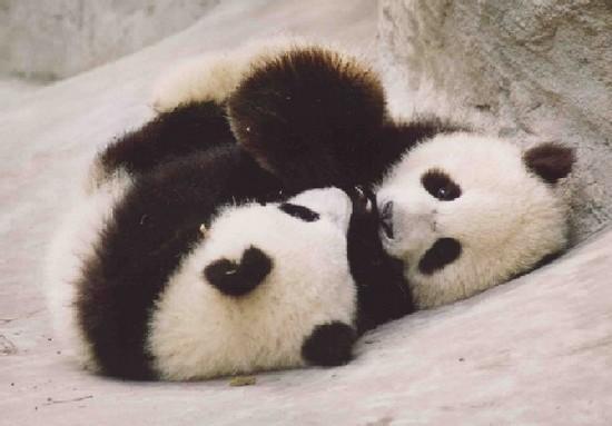 Cute Baby Panda Bears Playing