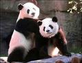 More Cute Pandas!