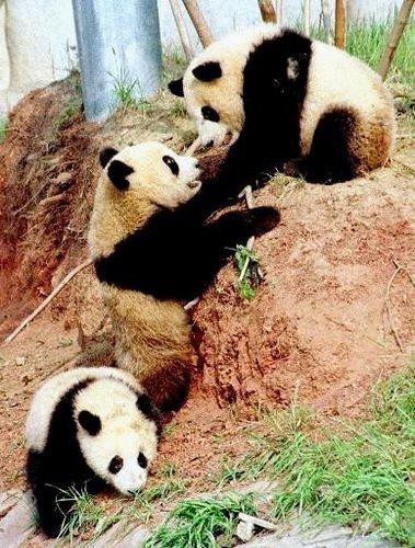 مزید Cute Pandas!