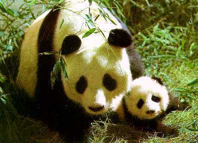 More Cute Pandas! - pandas Photo
