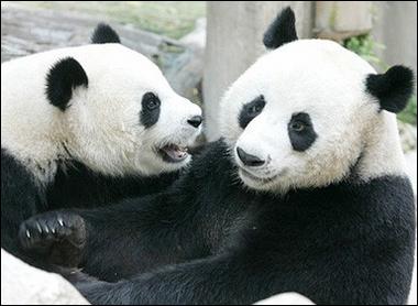 もっと見る Cute Pandas!