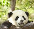 और Cute Pandas!