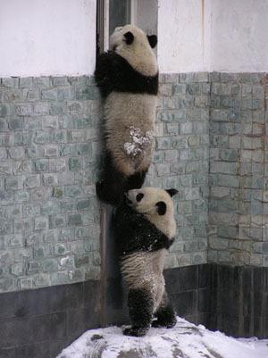 più Cute Pandas!