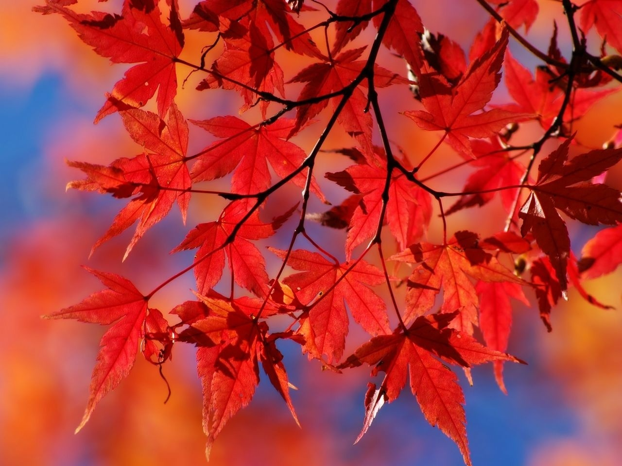 red images red leaves hd wallpaper and background photos (22176615)