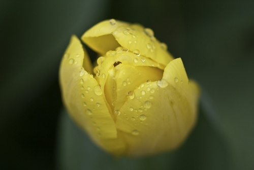 Spring blume