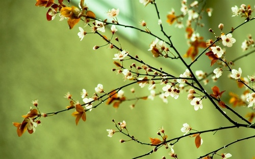 Spring wallpaper with a japanese plum, a japanese apricot, and an almond tree entitled Spring flowers