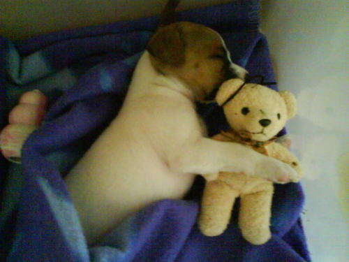 cute puppy with teddy beer
