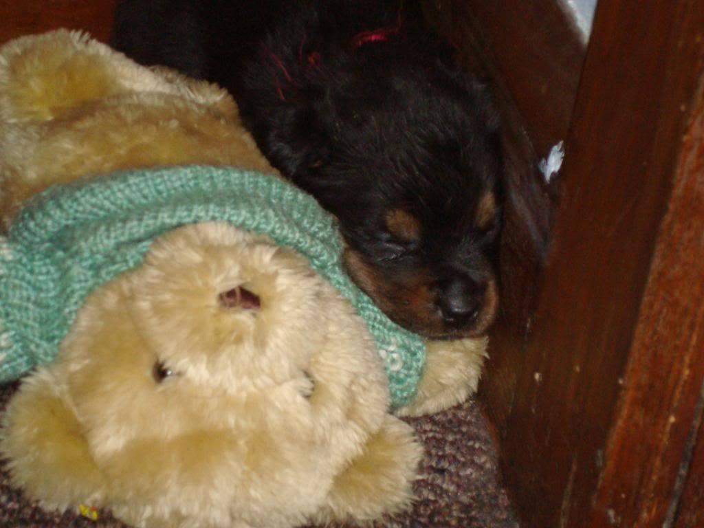 So cute puppies wallpaper 15897245 fanpop - Cute Puppy With Teddy Bear Teddybear64 Photo 22106082