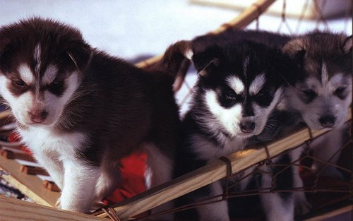 Adorable Puppies - puppies Wallpaper