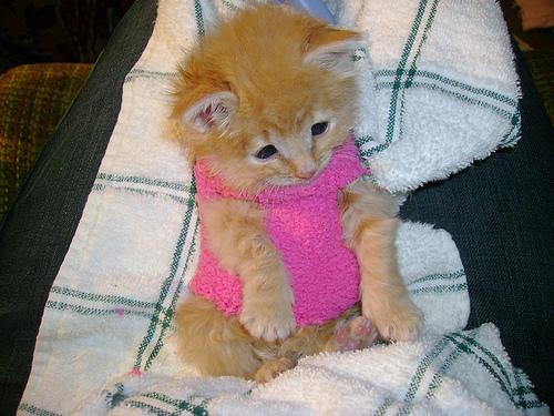 Kittens wallpaper entitled My tiger in a sweater