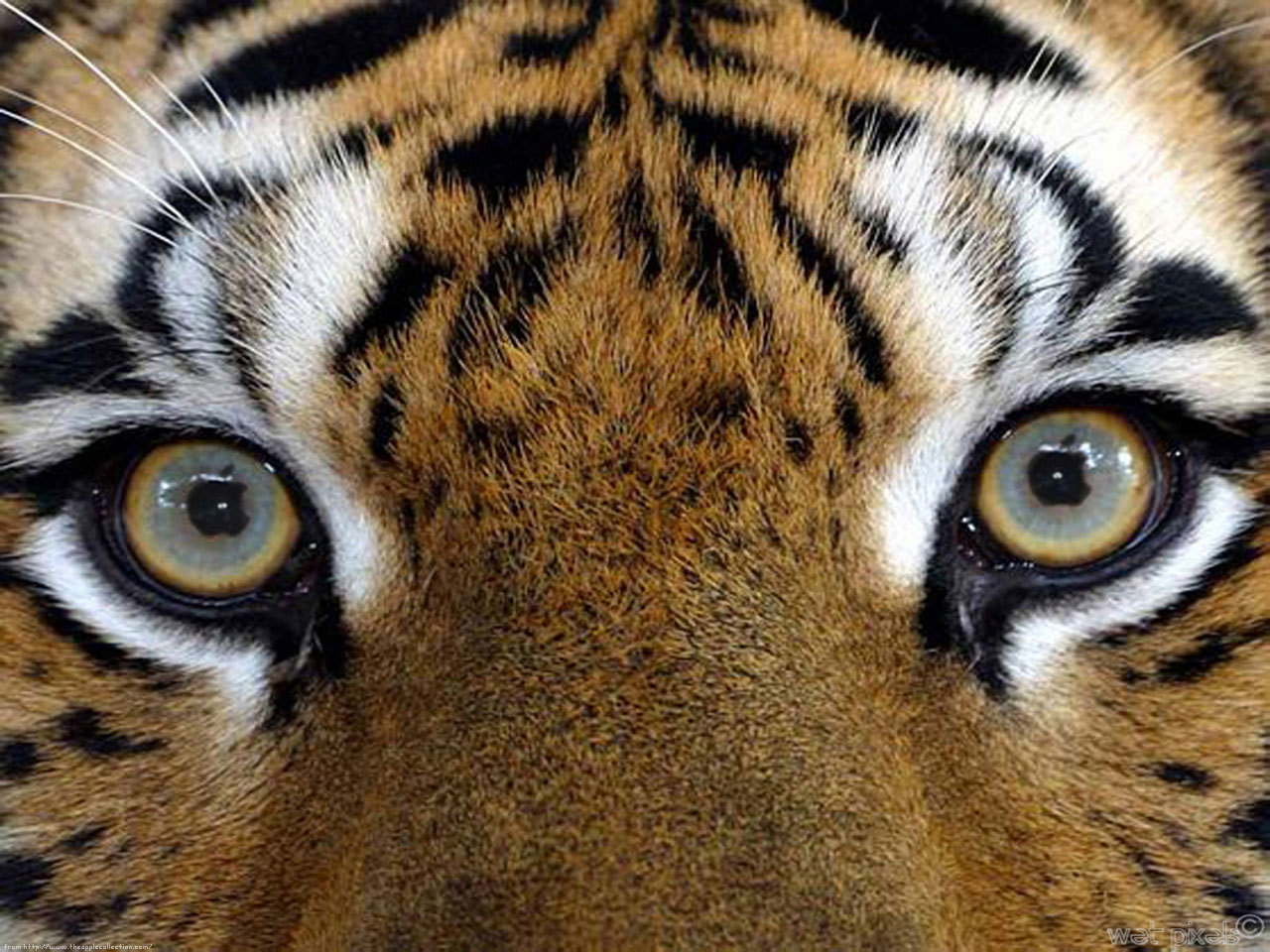 Tiger Eyes Hd Wallpaper