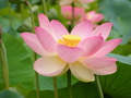 Water lily or lotus - flowers photo