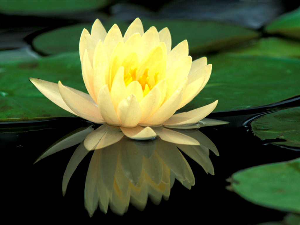 Flowers water lily or lotus