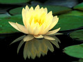 Water lily of lotus