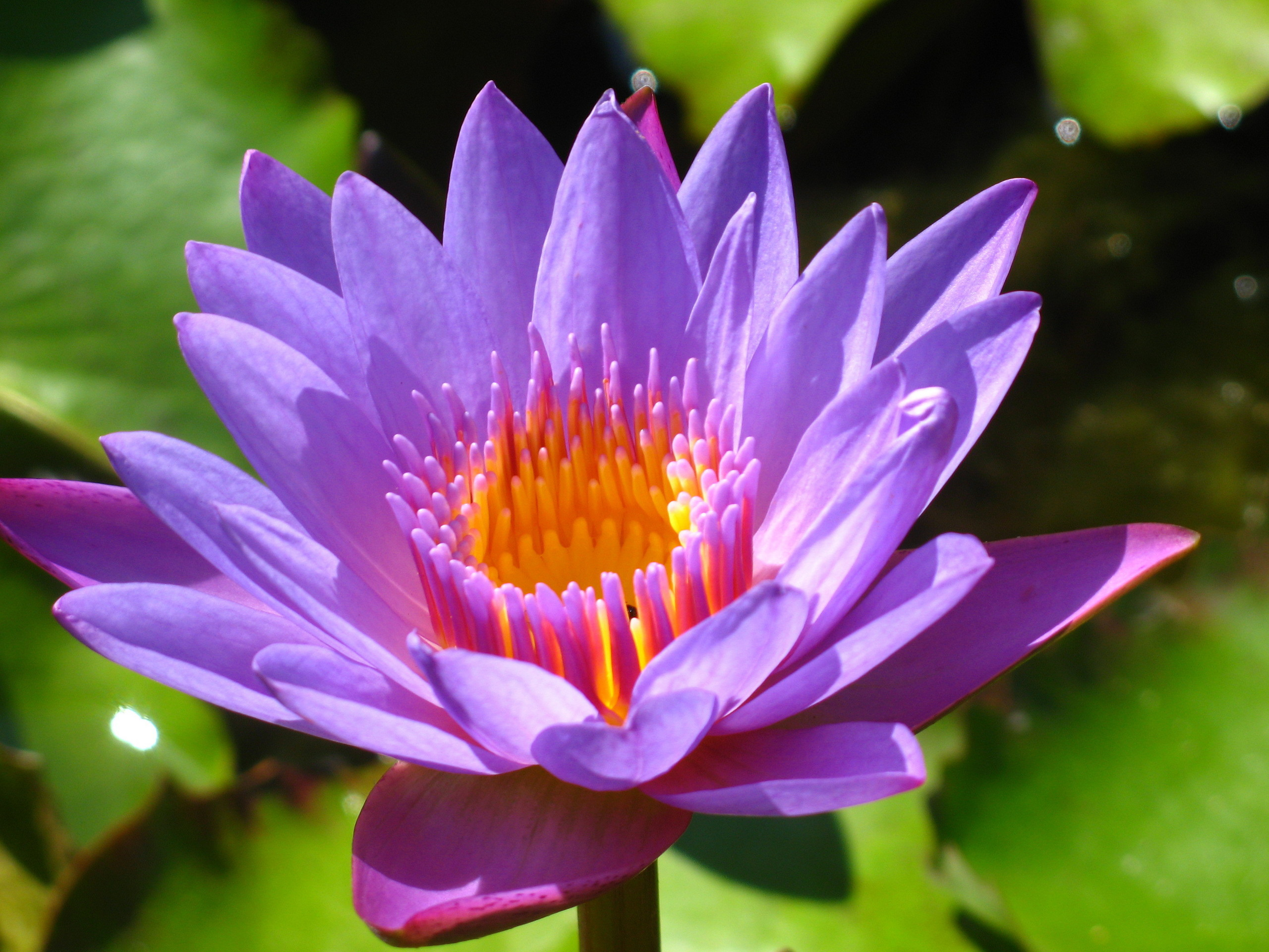 Flowers Images Water Lily Or Lotus Hd Wallpaper And Background