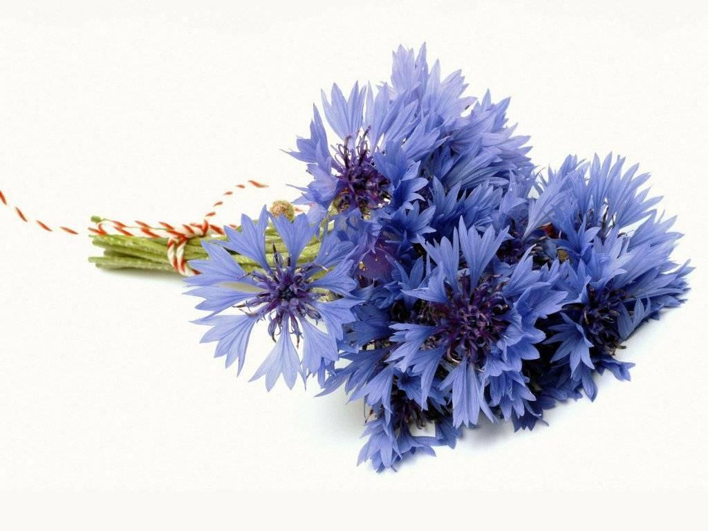 cornflower Flowers Fanpop