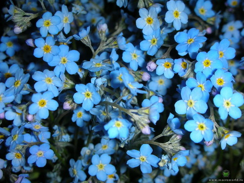 fiori wallpaper with a yellow chamomile, a common daisy, and a mais calendula, tagete entitled forget-me-not
