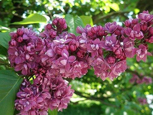 라일락 꽃, 라일락