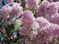 ungu, lilac