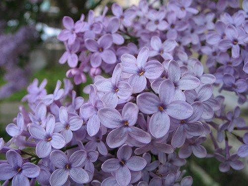 màu hoa cà, lilac