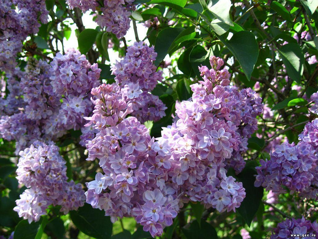 lilac flowers photo 22283364 fanpop