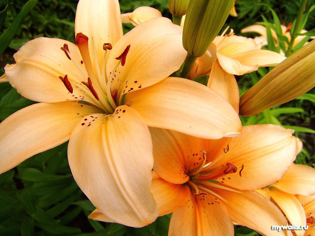 Flowers images lily HD wallpaper and background photos