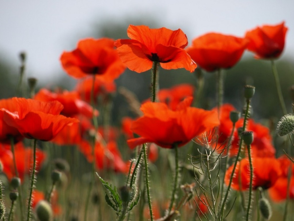 Flowers Images Poppy Hd Wallpaper And Background Photos 22283920