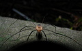 sPIDER AT NIGHT - arachnology photo