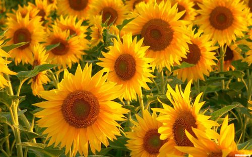 Flowers wallpaper with a sunflower, a common sunflower, and a blue eyed african daisy entitled sunflower