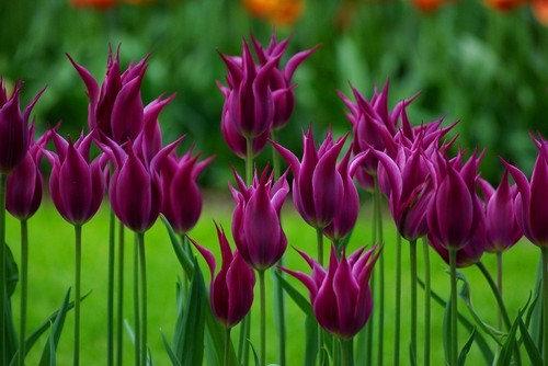 flowers images tulips hd wallpaper and background photos, Natural flower