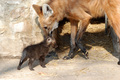 Adult maned wolf with a pup - wolves photo
