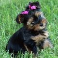 Cutie Patootie - yorkies photo