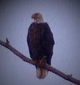 Eagle In The Wild - united-states-of-america photo