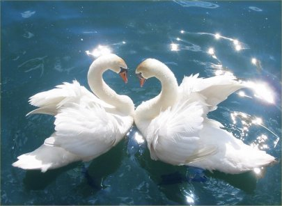 God-The creator kertas dinding possibly with a angsa, swan and a tundra angsa, swan entitled God's Beautiful Swans ♥