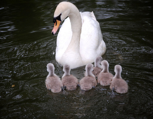 God's Beautiful Swans ♥
