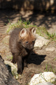 Maned Wolf pup - wolves photo