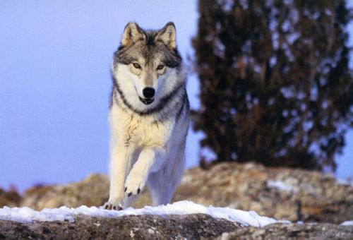 Moonshine's Reall волк фото