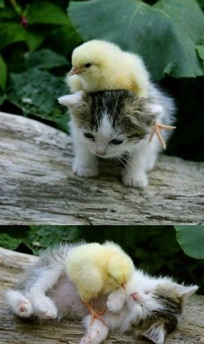 kitten and chick - kittens Photo