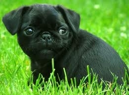 Pugs wallpaper possibly with a brabancon griffon titled Baby pug
