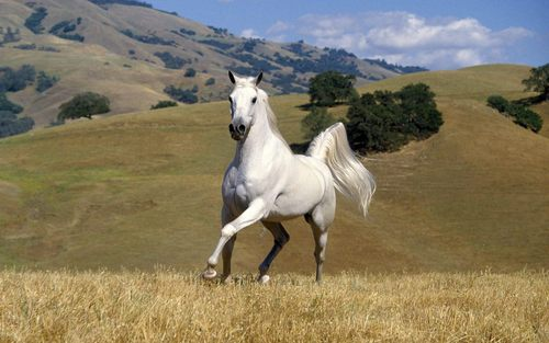 Horses images beautiful horse hd wallpaper and background photos horses wallpaper containing a lippizan called beautiful horse altavistaventures Choice Image
