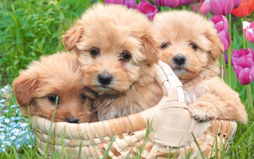Puppies wallpaper entitled Little Sweethearts