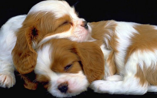 tuta wolpeyper containing a king charles asong spaniel entitled Little Sweethearts