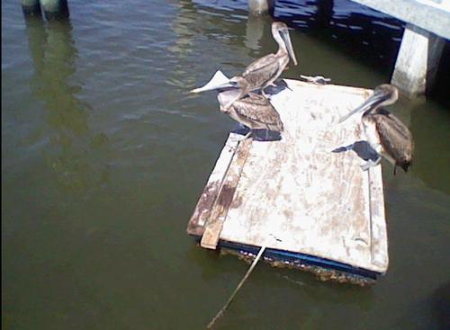 Pelicans!!!!!!