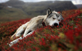 wolf pup wallpaper - alpha-and-omega wallpaper